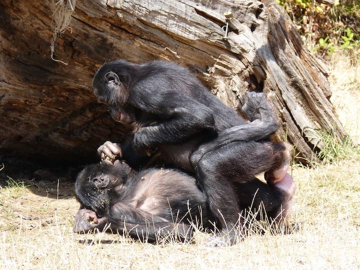 Photographie d'un comportement sexuel entre deux femelles bonobos.