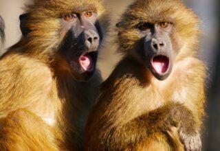 Deux singes qui crient