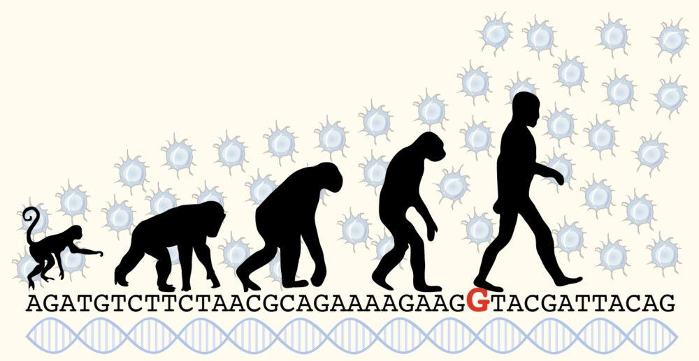 évolution du singe à l'homme