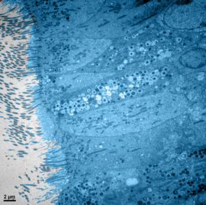 tissu respiratoire humain nasal vu sous microscope