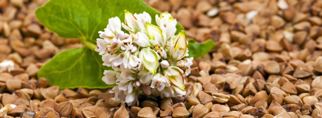 Graînes de sarrasin utilisées comme matière première pour notre actif naturel Cell'intact
