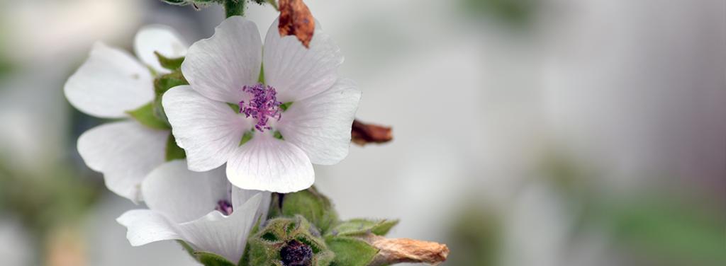 Fleurs de guimauve qui sont à la base de notre ingrédient anti-pollution Osmo'city