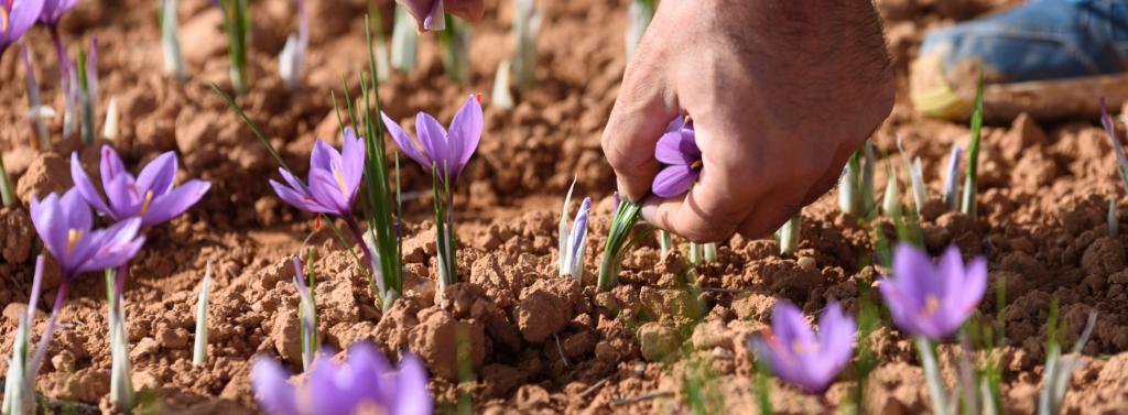 le safran est une fleur délicate ui se récolte uniqument à la main.