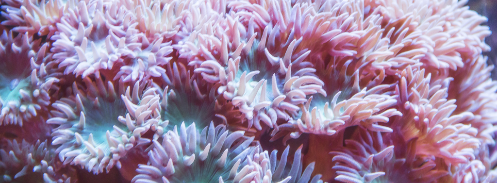 Sean anemone from the Moorea lagoon