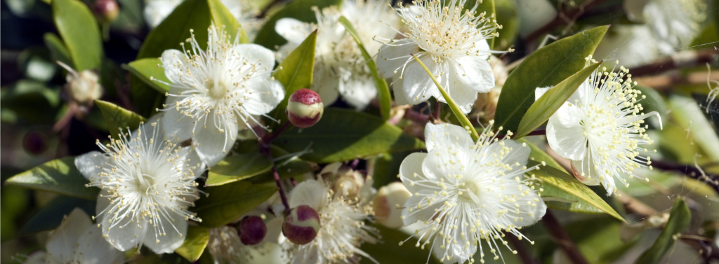 Myrtle flowers is part of our titrated extracts catalogue