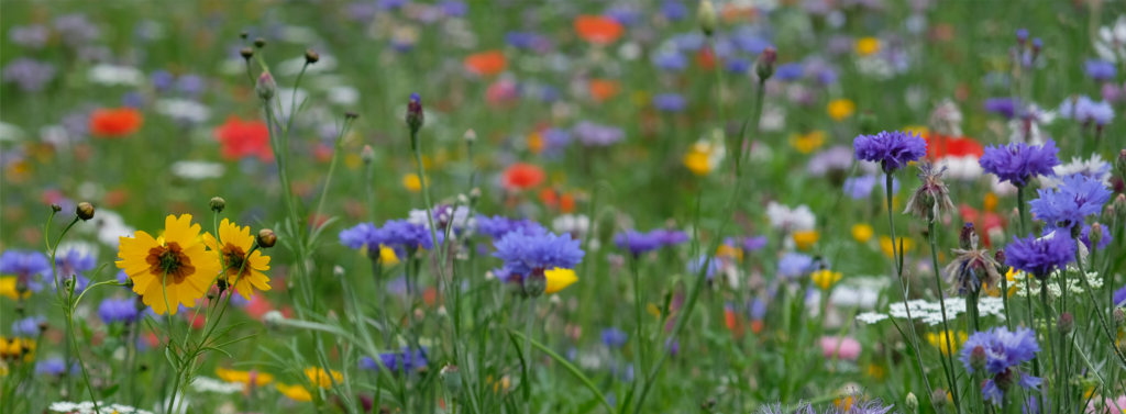 Field of blue, yellow and red flowers. With natural raw material Seqens Cosmetics Natural Ingredients can help you to custom manufacture your ingredient