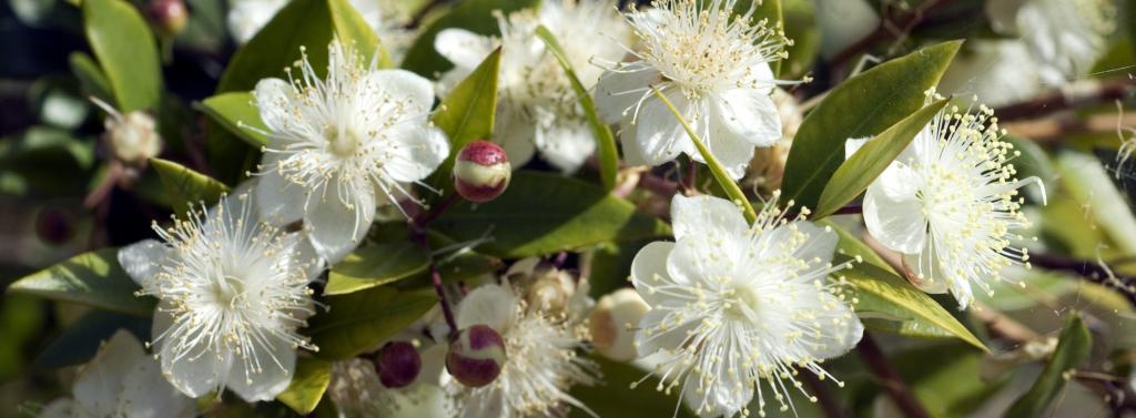 La fleur de myrthe est un extrait titré issu de notre catalogue