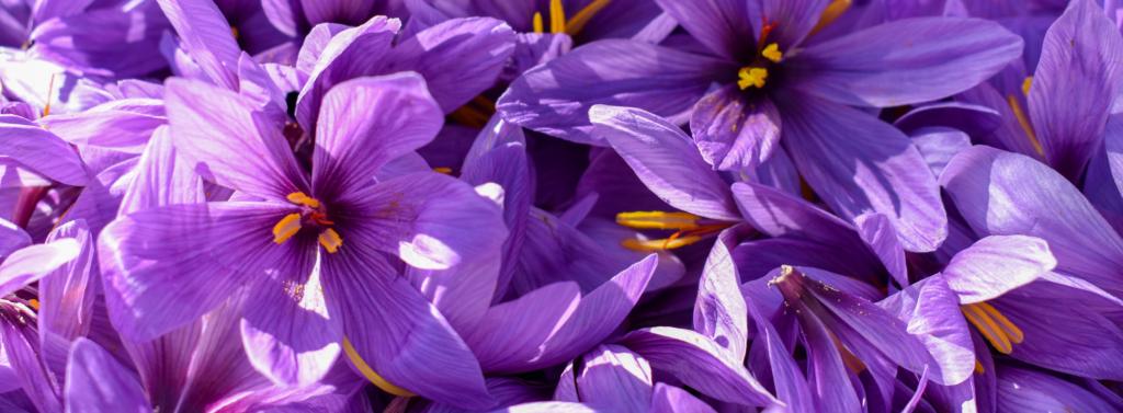 Fleurs de safran (crocus sativus), matière première utilisée pour la fabrication de l'actif Sens'flower